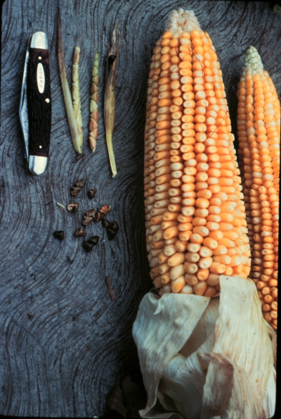 maize_and_teosinte
